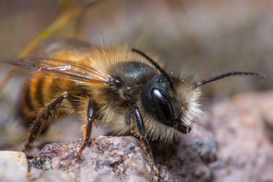 Foto einer männlichen Mauerbiene, mit freundlicher Erlaubnis von Jessica Dumrauf