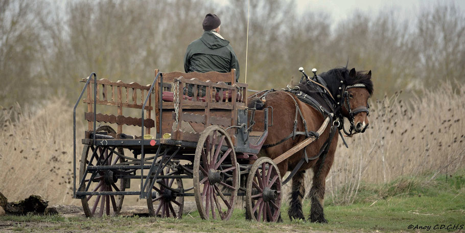 chevaux, trait, comtois, âne, association, charente, maritime, animations