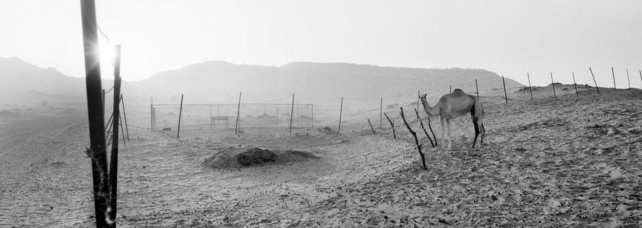 Kamele am Morgen in den Dünen von Hatta als Panorama-Photographie