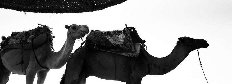 Zwei Kamele am Strand von Sidi Kaouki, Marokko, in schwarz-weiß als Panorama-Photographie