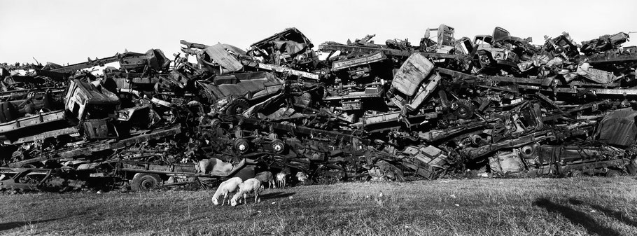 Kriegsschrott aufgetürmt als Mauer, davor zwei Schafe, im Tank Graveyard in Asmara, Eritrea, als Schwarzweißphoto im Panorama-Format