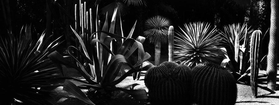 Kakteen im Park Jardin Majorelle in Essaouira, Marokko, in schwarz-weiß als Panorama-Photographie