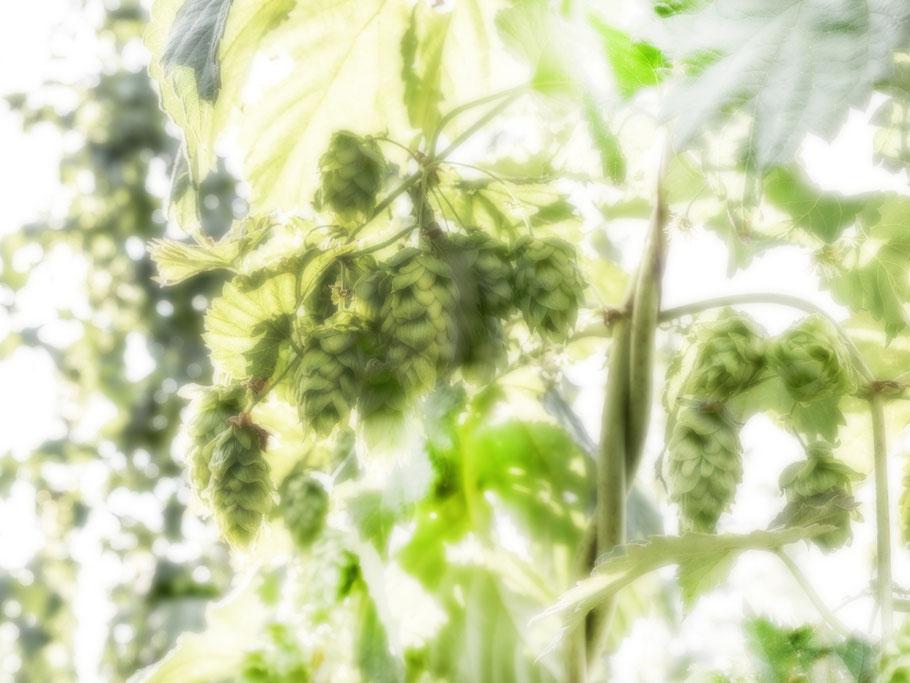 Hopfen bei Wolnzach in der Hallertau – Bayern, Deutschland – als Farbphoto