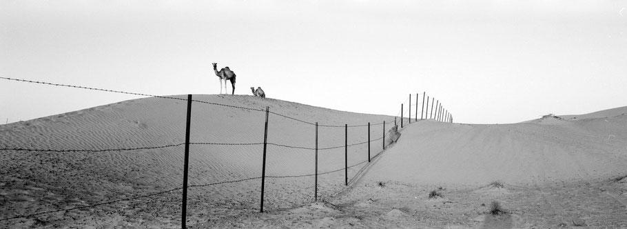 Panoramaaufnahme von Kamelen in den Dünen der Wüste Hatta Dune bei Dubai als Schwarzweißfoto