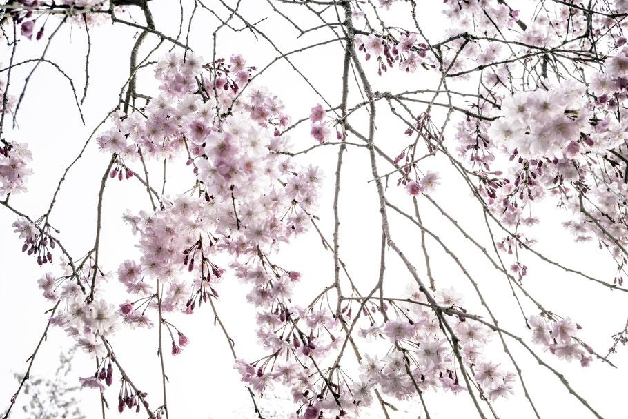 Kirschblüten Sakura in Kyoto als Farb-Photographie, Japan