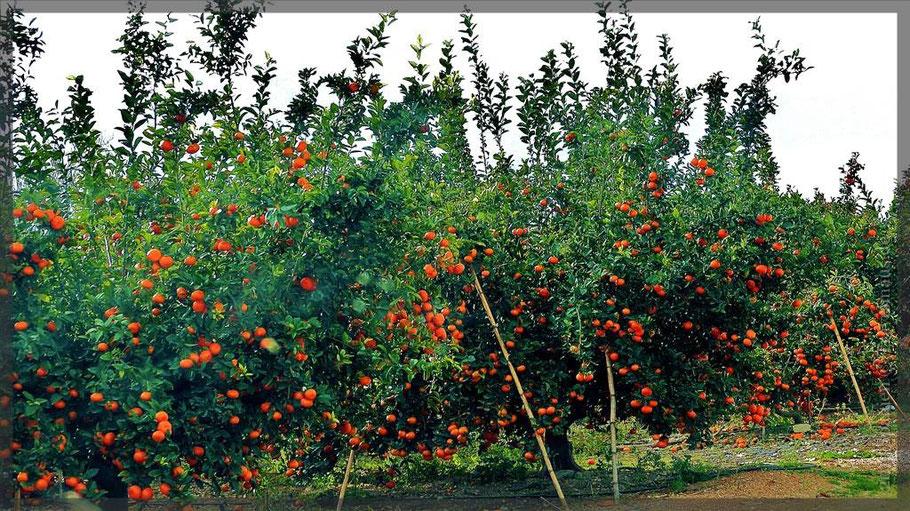 Orangenplantagen auf dem Weg nach Pego