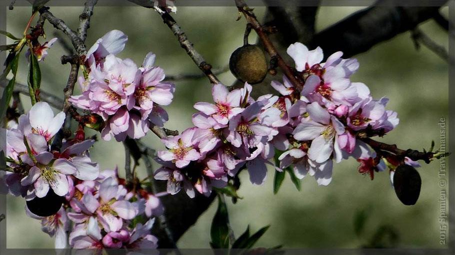 ...die ersten Mandelblüten