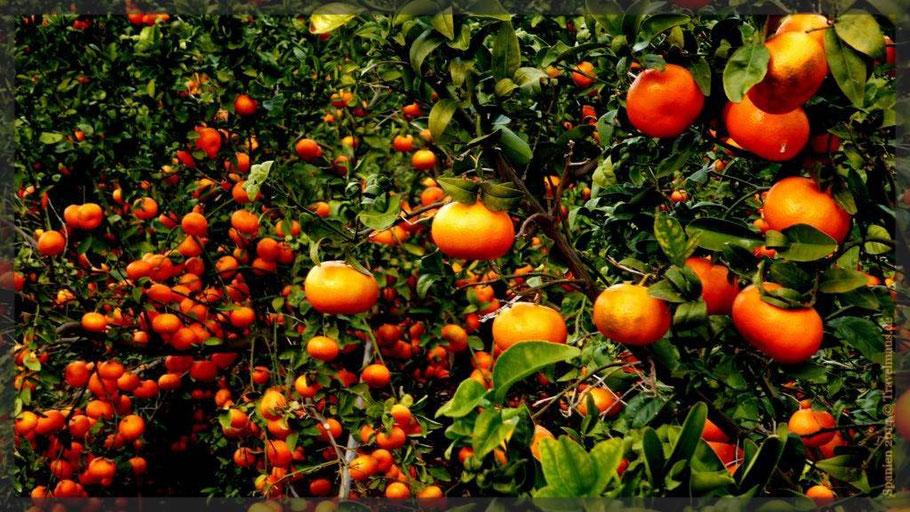 Orangen-Mandarinenplantagen...im Umfeld von Oliva!