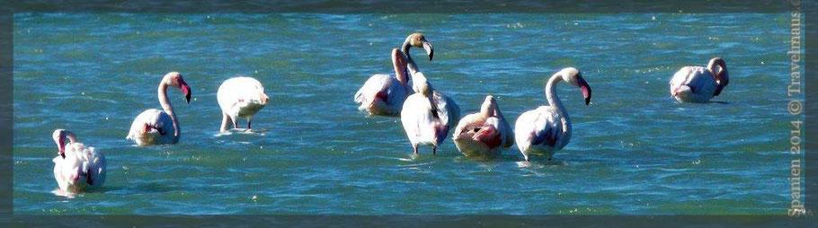 Flamingos in den Salinen bei Santa Pola