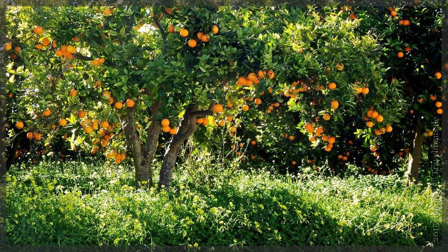 Um Oliva herum: Orangen und mehr!