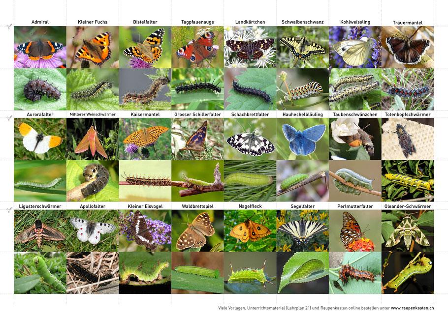 Übersicht Schmetterlinge und Raupen der Schweiz