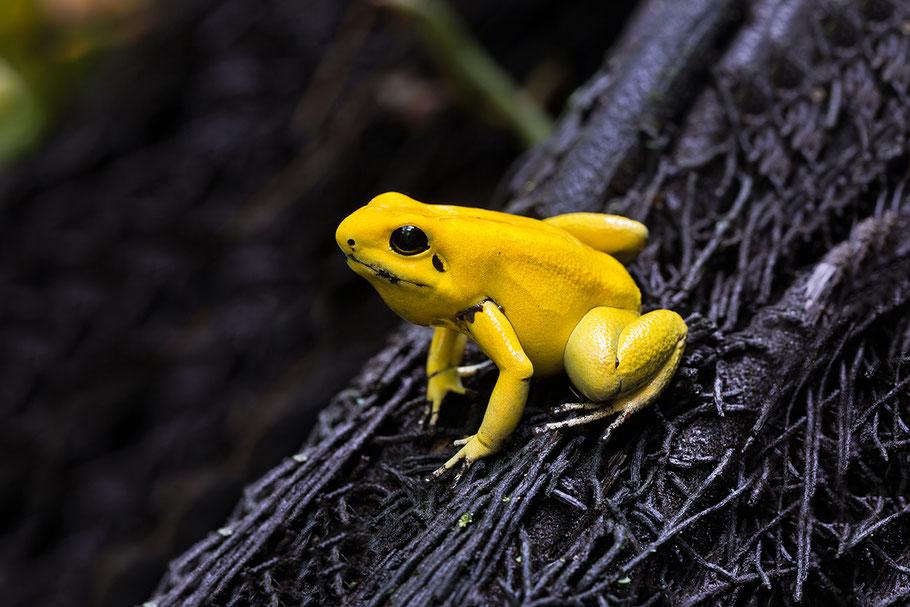 Gelber Pfeigiftfrosch