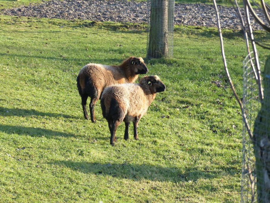 Sonne und Gras was will Schaf Anfang Januar mehr??
