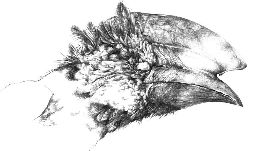 Bycanistes brevis, Silberwangen-Hornvogel