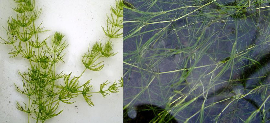 De izquierda a derecha, Myriophyllum y Zannichellia
