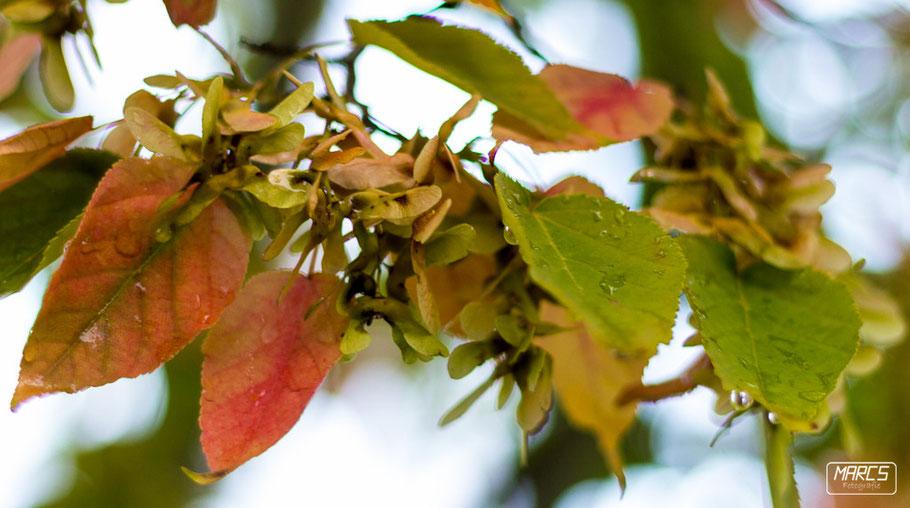 Marcs Fotografie, Herbstlaub, Bunte Blätter, Wassertropfen, Chinesischer Garten, Stuttgart,
