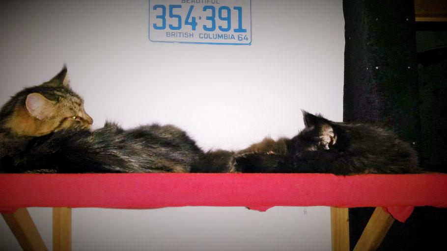Your Cat Bed Lift up - Katzenbett - Katzenwandbett - Katzenmöbel - Maine Coon