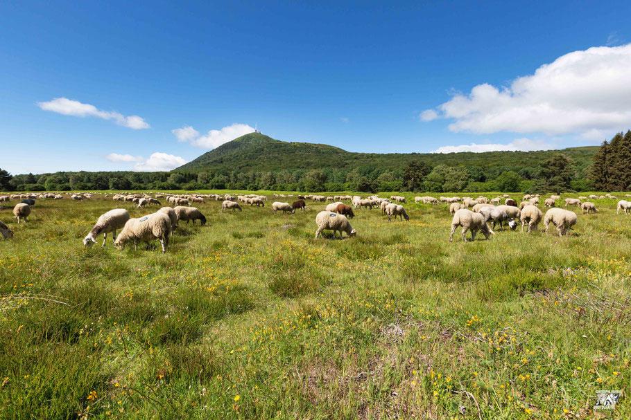 Troupeau de moutons au pied du Puy de Dôme