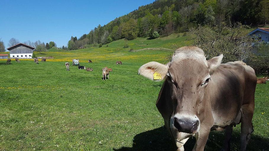 Kühe, Löwenzahn und blauer Himmel - das Allgäu pur