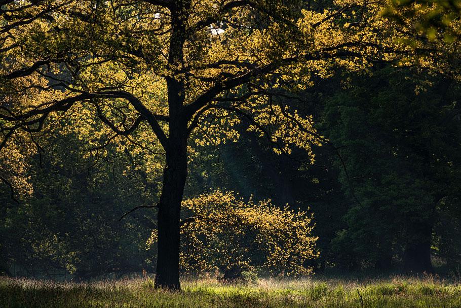 Eiche im Gegenlicht, Dessauer Tiergarten, Sebastian Kaps