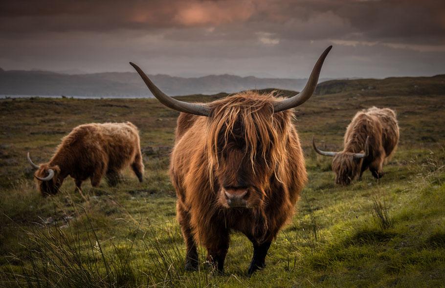Hochlandrinder, Fotoreise Isle of Skye