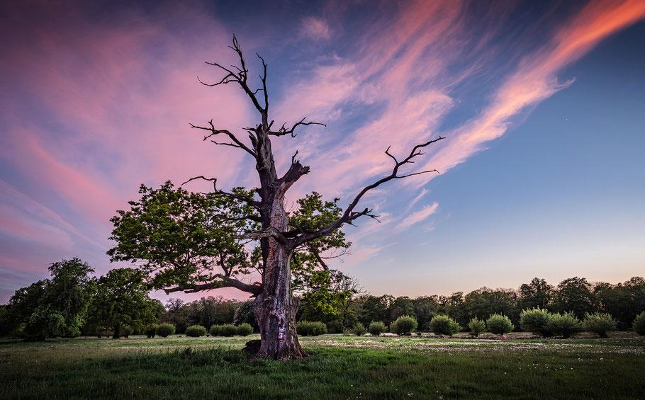 Traumhafter Baum, alte Eiche