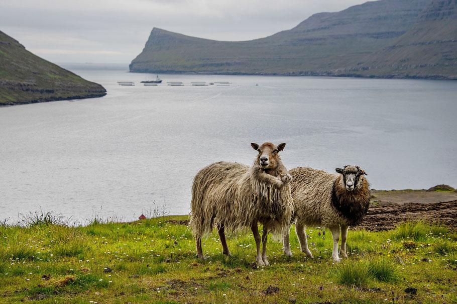 Schafe, Färöer