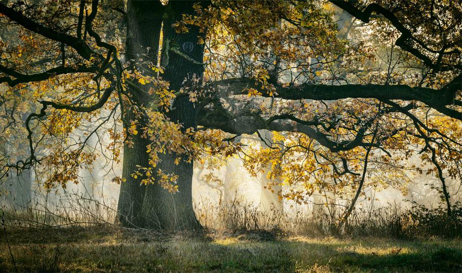 250 Jahre alte Eiche, Traum unter Bäumen
