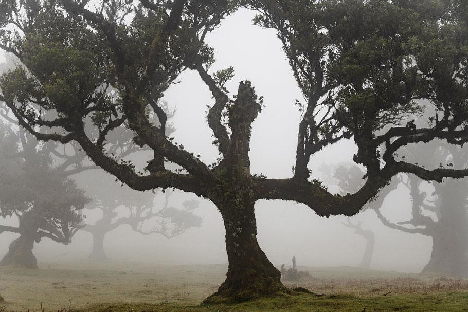 Fotoreise Madeira, Geisterwald bei Fanal