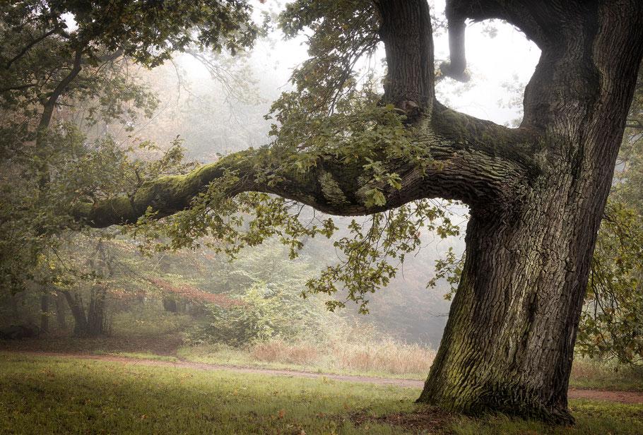 Baum zum träumen, alte Eiche