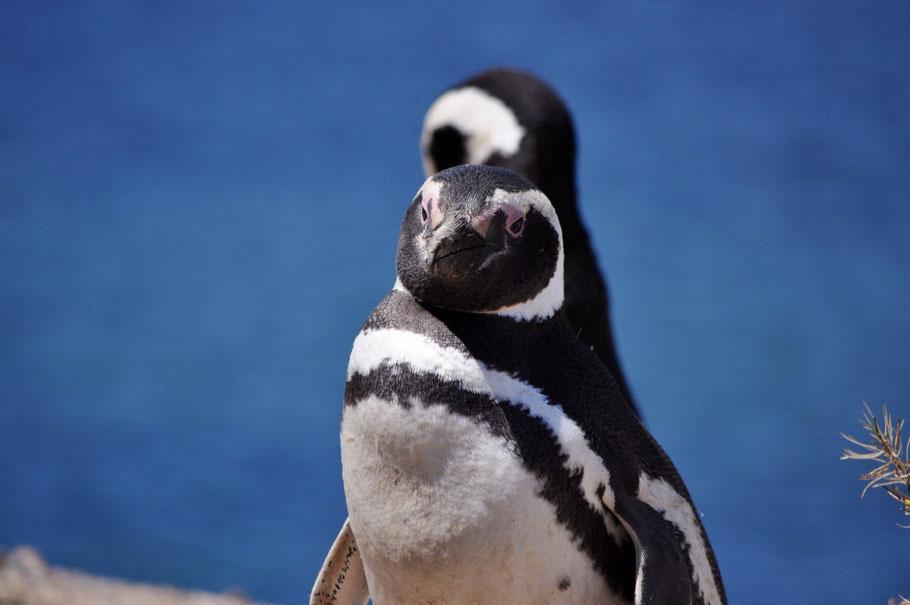 Pinguin Halbinsel Valdes Erfahrungsbericht Blog
