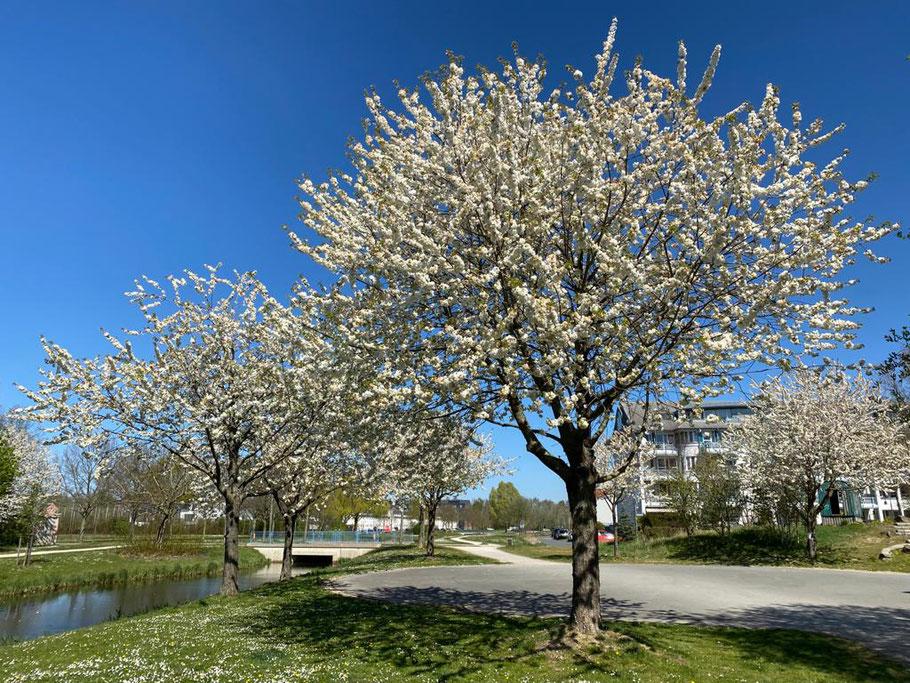 Bäume und Wohnhäuser an der Carl-Katz-Straße, Bremen Obervieland (Foto: 21.04.2020, Jens Schmidt)