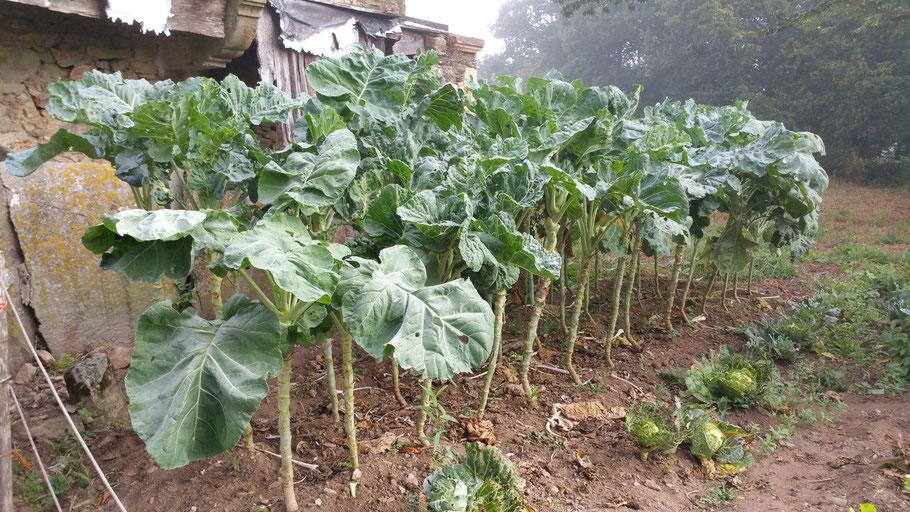 Galizischer Pflückkohl wird bis 1,80 m hoch und gehört in Galizien zur Grundnahrungsmittel (Caldo Gallego).