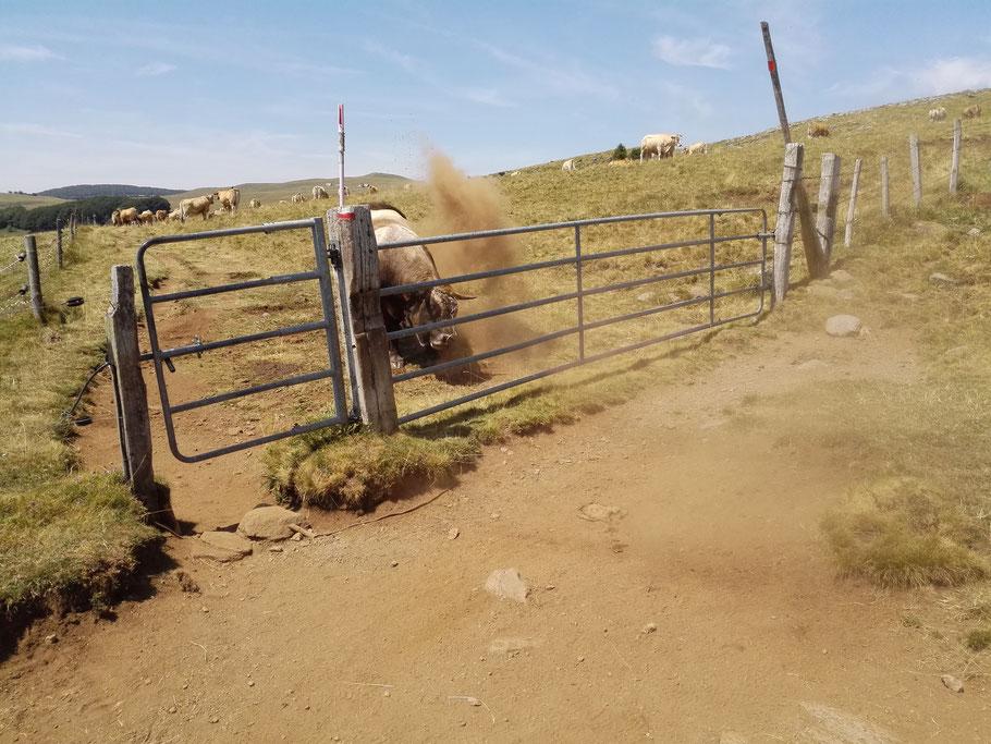 ...und der ist absolut nicht einferstanden dass ich sein Weidenland überquere...