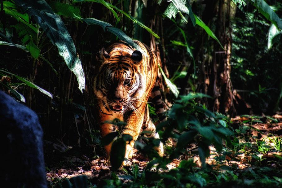 Tiger, über mich