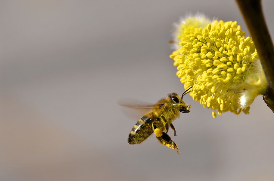 Biene vor Weidenkätzchen mit halbvollen Pollenröschen