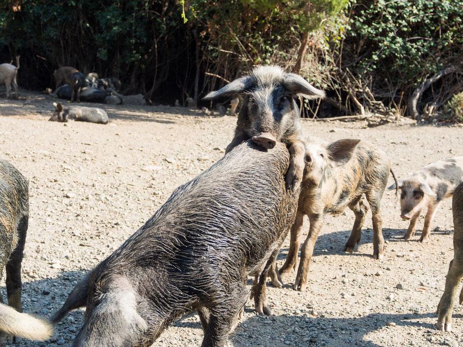 Korsische Schweine