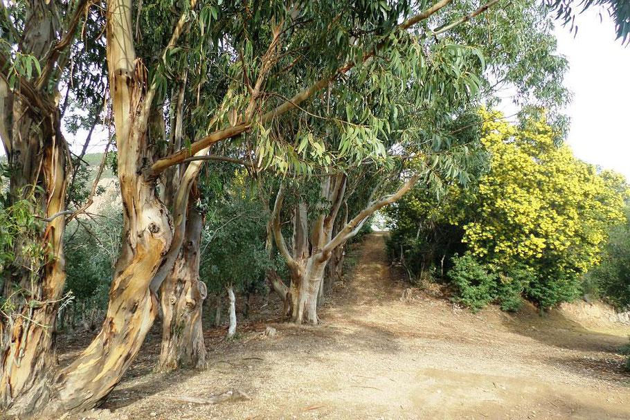 Eucalyptus et minosas en janvier 2016