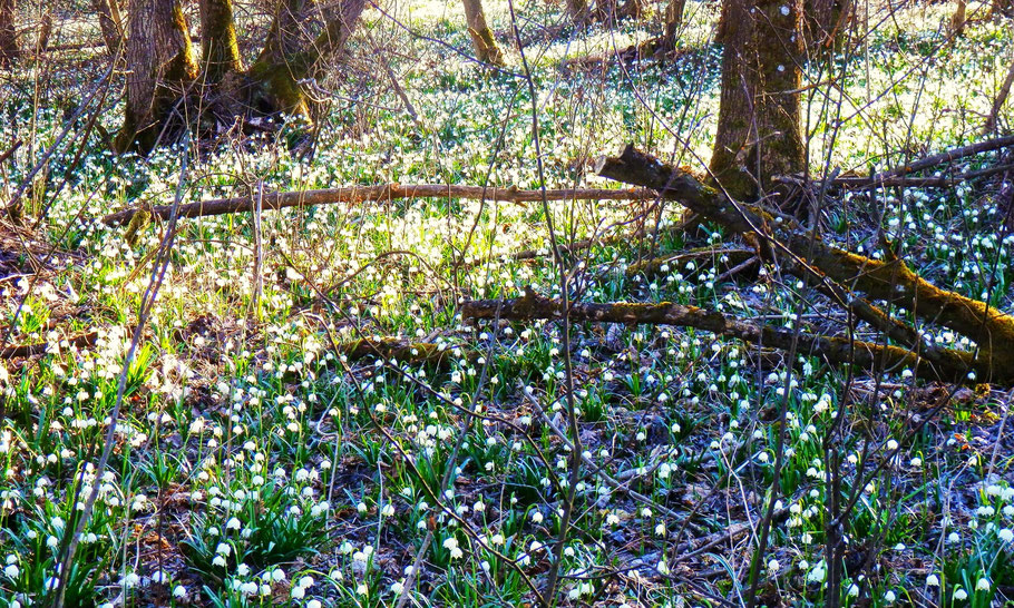 Frühlingsknotenblume-in-österreich-wandern-in-der-steiermark