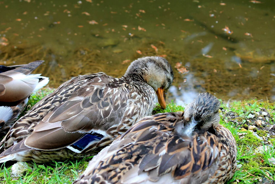 Süße Tiere, Enten am Wilden Berg in Mautern. Ausflugsziele Obersteiermark - Zoo/ Tierpark