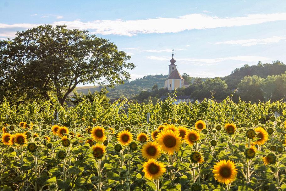 Sonnenuntergang-Österreich-Neusiedlersee-Sonnenblumen-Sonnenblumenfeld