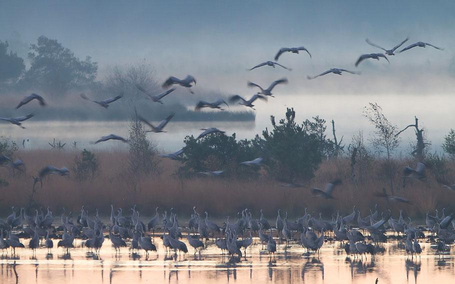 Morgenstimmung im Moor, die ersten Kraniche fliegen ab