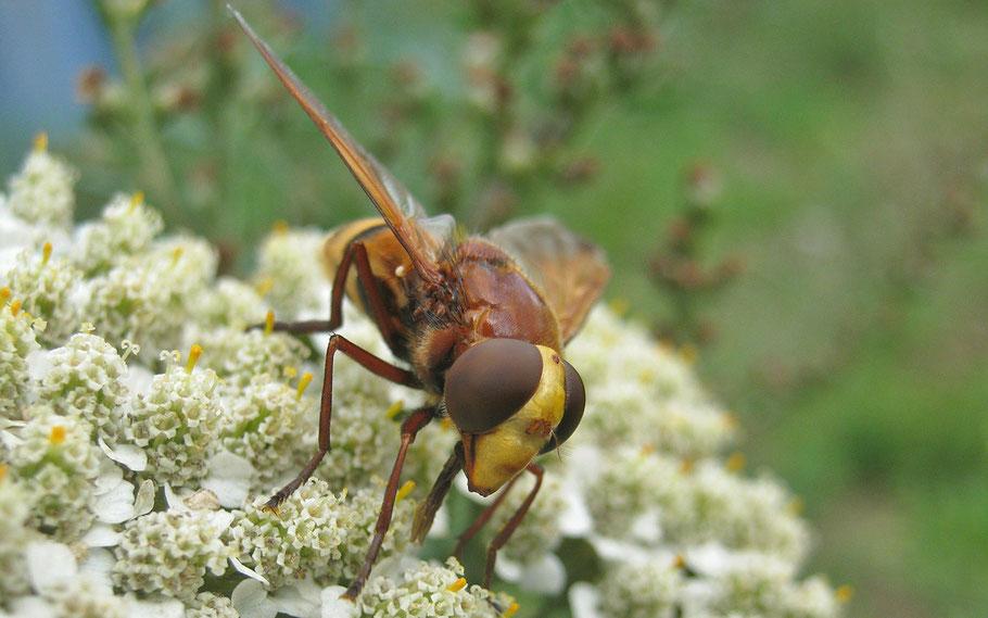 Hornissen-Schwebfliege, ein nicht so schönes Beispiel für Täuschung