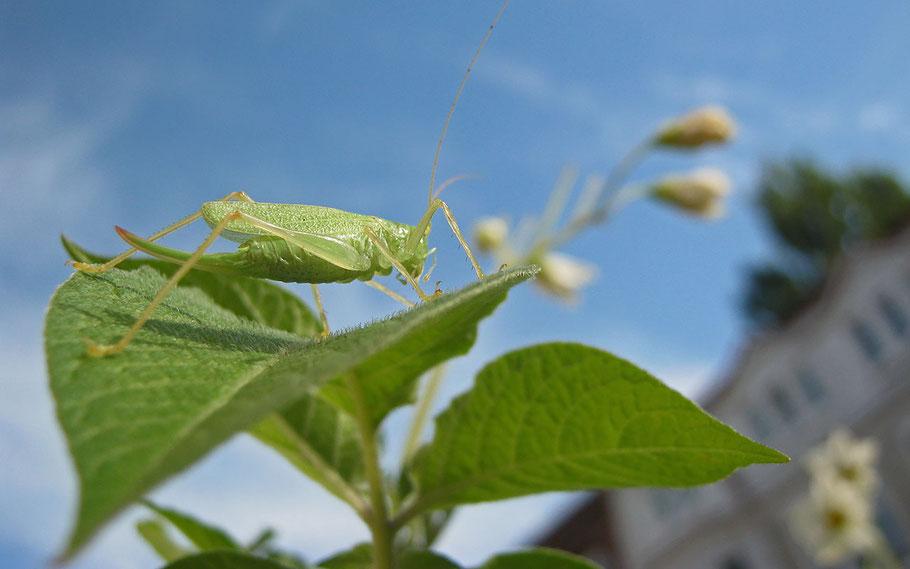 Weibchen der Gemeinen Eichenschrecke