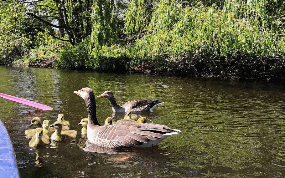 Ende April ist die Familie noch auf dem Goldbekkanal vereint. (Foto: Lea-Carina Mendel)