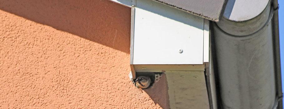 Haussperling kurz nach der Wohnungsübergabe vom Buntspecht. (Foto: S. Hinrichs)