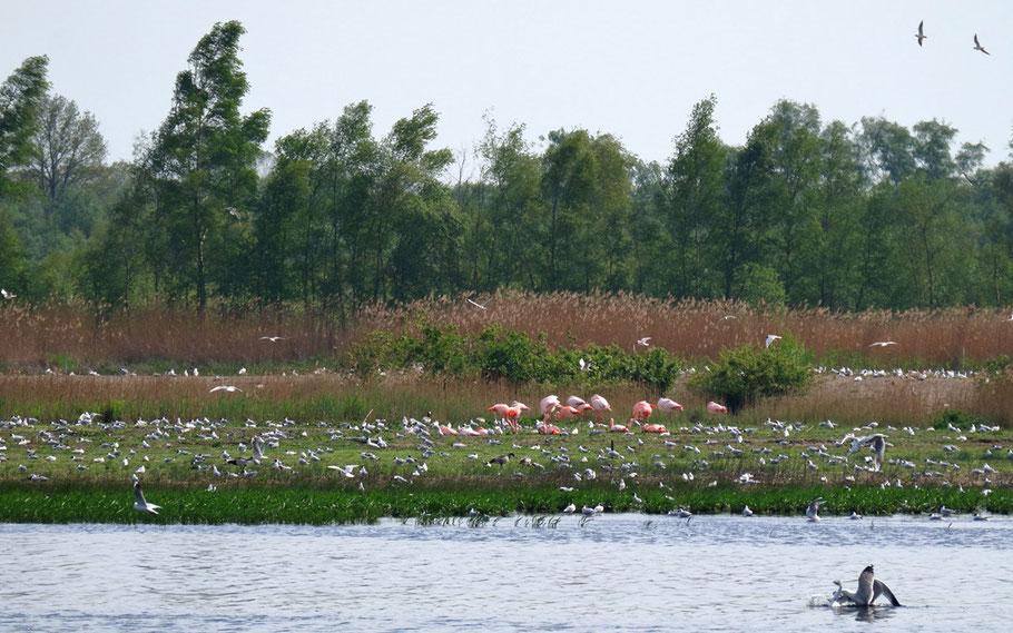 Flamingos auf ihrer Brutinsel