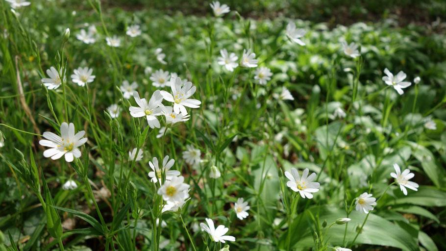Balades-nature plantes sauvages comestibles et médicinales
