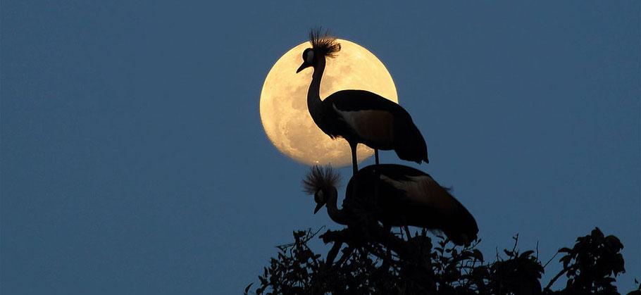 Uganda-crown-cranes.jpg