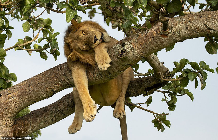 tree-climbing-lion-queen-elizabeth-national-park.jpg